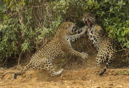 Joe mcdonald fighting jaguars