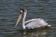 Pink-backed Pelican - Naivasha - Kenya 50276 (15205474549)