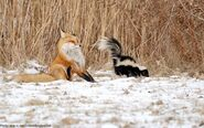 Fox-sprayed-by-the-skunk