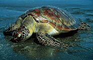Green-seaturtle-7