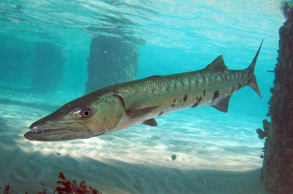 картинки рыбы барракуда удалять