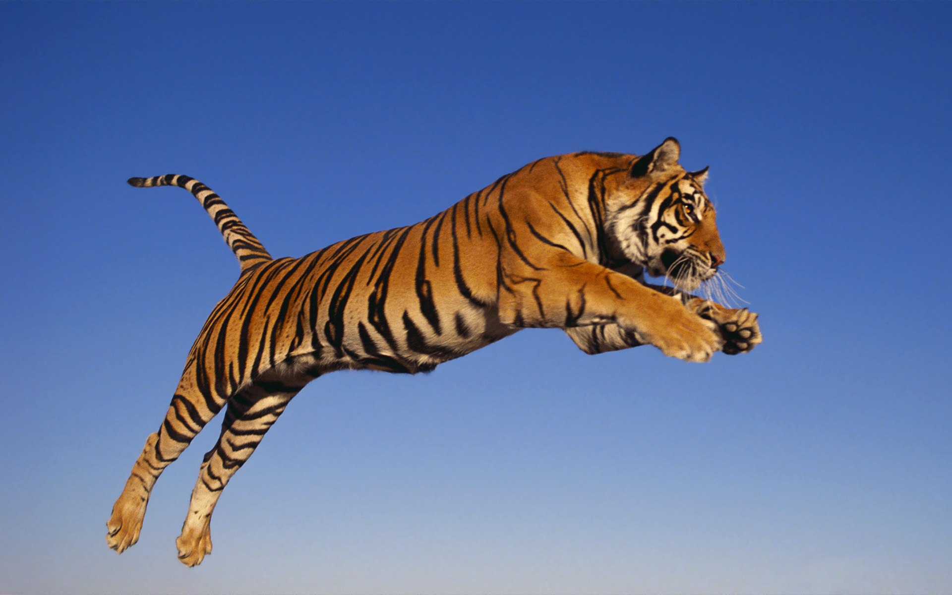 image - bengal tiger wallpaper | creatures of the world wikia