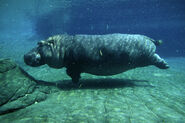 Common Hippopotamus