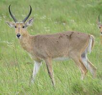 1920px-Southern Reedbuck (Redunca arundinum) iSimangaliso Wetland Park, KwaZulu-Natal, South Africa