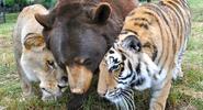 Baloo-leo-lion-bear-huggles