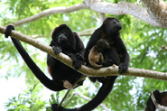 Howler-monkey-of-costa-rica-baby