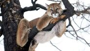 Cougar10334325