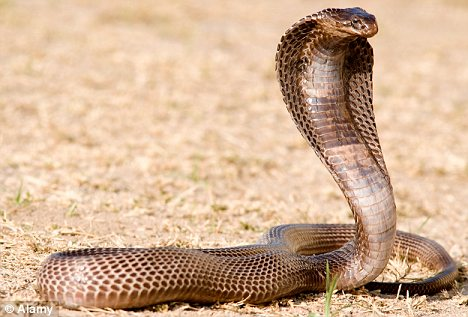 Egyptian Cobra Creatures Of The World Wikia Fandom Powered By Wikia