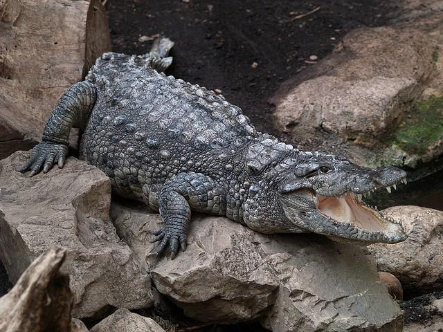 Mugger Crocodile   Creatures o...