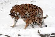 Panthera tigris altaica 13 - Buffalo Zoo