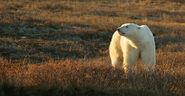 North-Churchill-Summer-4-polar-bear