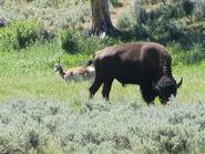 Wolvespronghorn bison