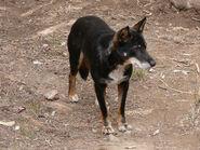 Dingo-black-and-tan