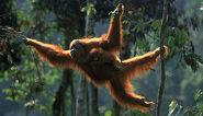 Orangutan 257637 1 408099