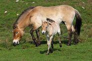 Przewalski's Horse2