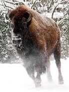 Bison-bison-bison6