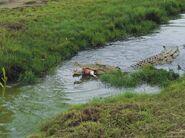 Saltwater Crocodile eating deer