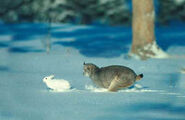 CANADA LYNX, AFTER SNOW-SHOE HARE