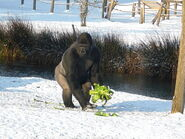 Gorilla-in-the-snow