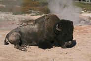 American bison rests at hot spring in yellowstone national park