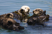 Four sea otters