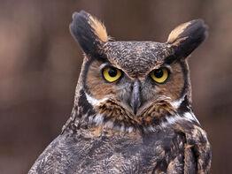 Great-horned-owl-symbolism