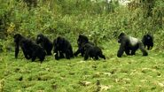 Mountain-gorilla-group.jpg.adapt.945.1