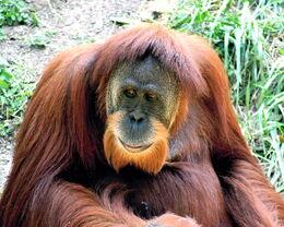 Orangutan5