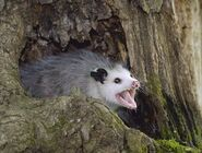 Possum-0411jpg-d8f3393cd74cca37