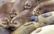 Elephant seal colony edit
