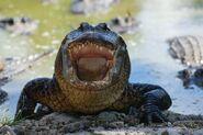 Alligator-mississippiensis 624