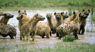 Spotted hyena group in water kholekamp web500