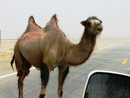 Wild Bactrian camel on road east of Yarkand