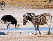 Zebra-ostrich