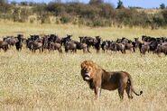 Lion And Wildebeest Herd In Kenya 600