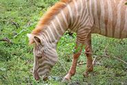 Albino-zebra.jpg.638x0 q80 crop-smart