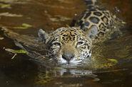 1wxajyznfn Julie Larsen Maher 8800 Jaguar in water PBZ 12 20 12