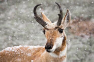 Pronghorn-buck-snow