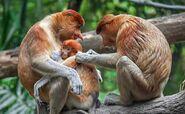 Asia borneo sabah wildlife special thumbnail