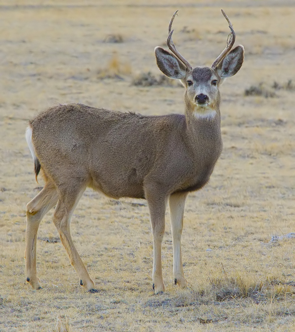 Mule deer having sex