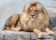 2D2239E700000578-3262421-Mane attraction Leon the congolese lion is the star attraction a-a-81 1444159589105