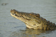 01-nile-crocodile-florida