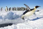 Emperor penguin 10