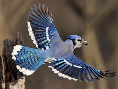 Image Blue Jay Facts2jpg Creatures Of The World Wikia Fandom