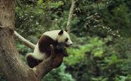 John mackinnon wwf canon panda 2