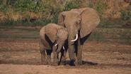 AfricanElephant62415