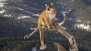 Cougar-wallpaper-3