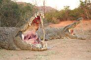 Crocodile-2b