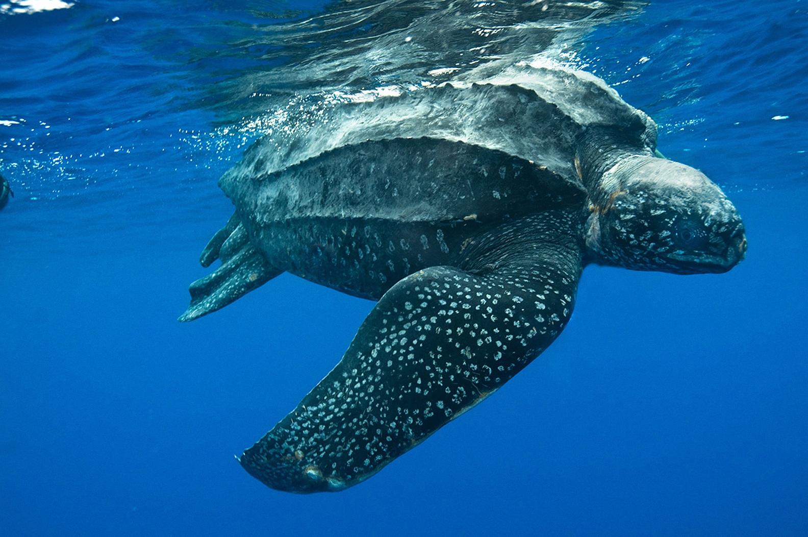 Leatherback sea turtle creatures of the world wikia