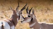 Animals hero pronghorn